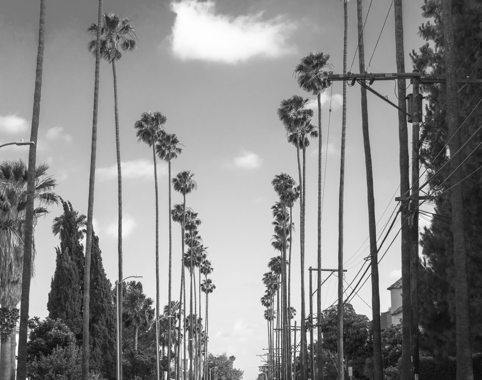 LA street with palm trees b&w